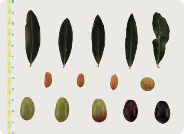 Le varietà delle Olive: il Correggiolo
