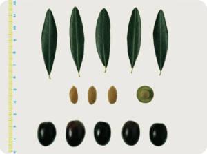 Le varietà delle olive: il Leccino