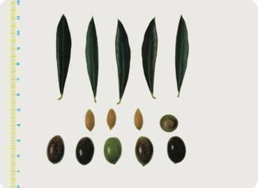 Le varietà delle Olive: Rossina