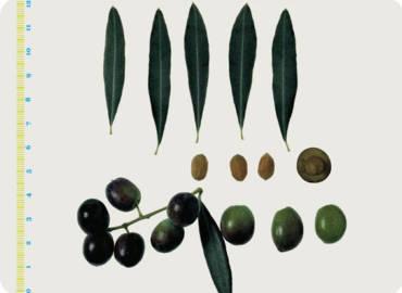 Le varietà delle Olive: la Moraiola