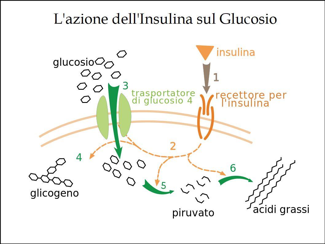 L'Extravergine di Oliva favorisce il benessere del Pancreas e previene il Diabete