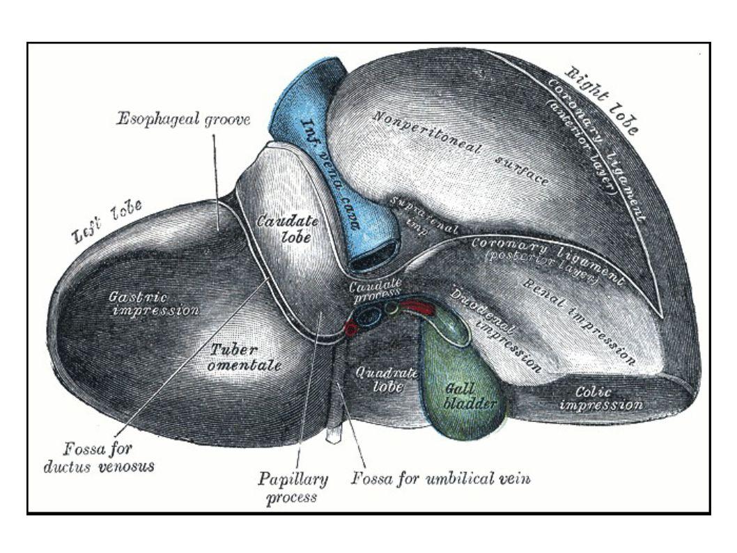 L'unico grasso che mantiene giovane il nostro fegato è l'Olio Extravergine di Oliva