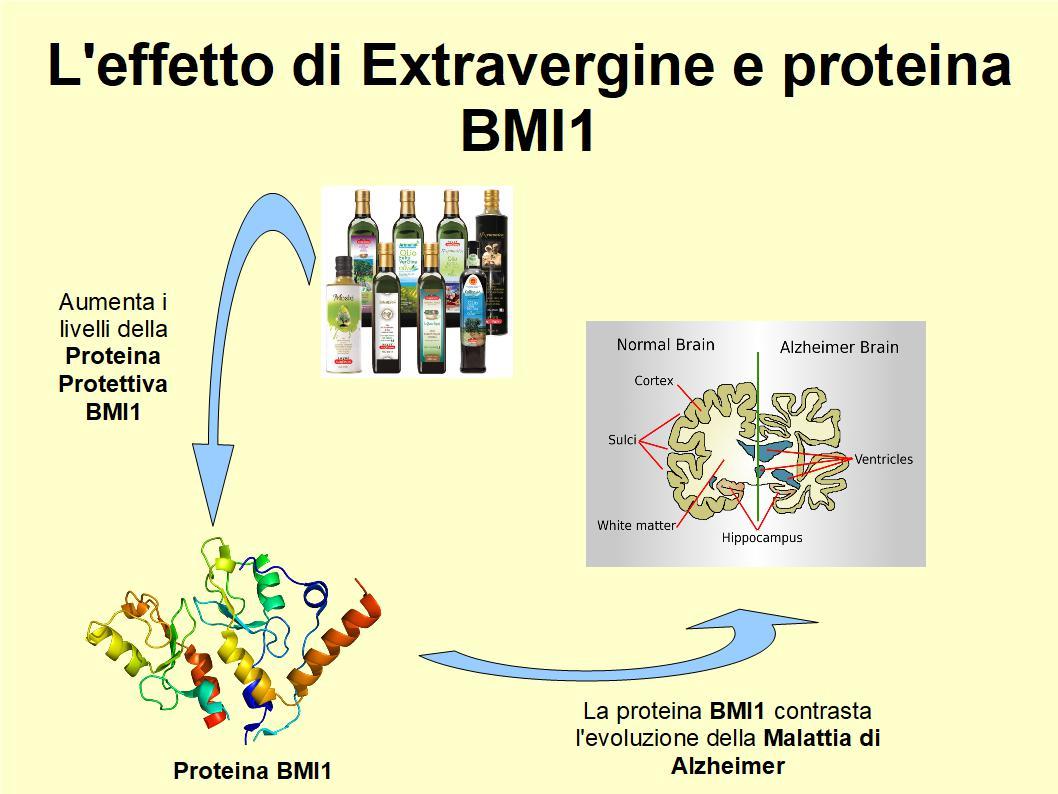 L'Extravergine ripristina i livelli della proteina protettiva BMI1 nelle prime fasi dell'Alzheimer
